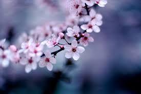 MSC Cherry Blossom Fly Cruise